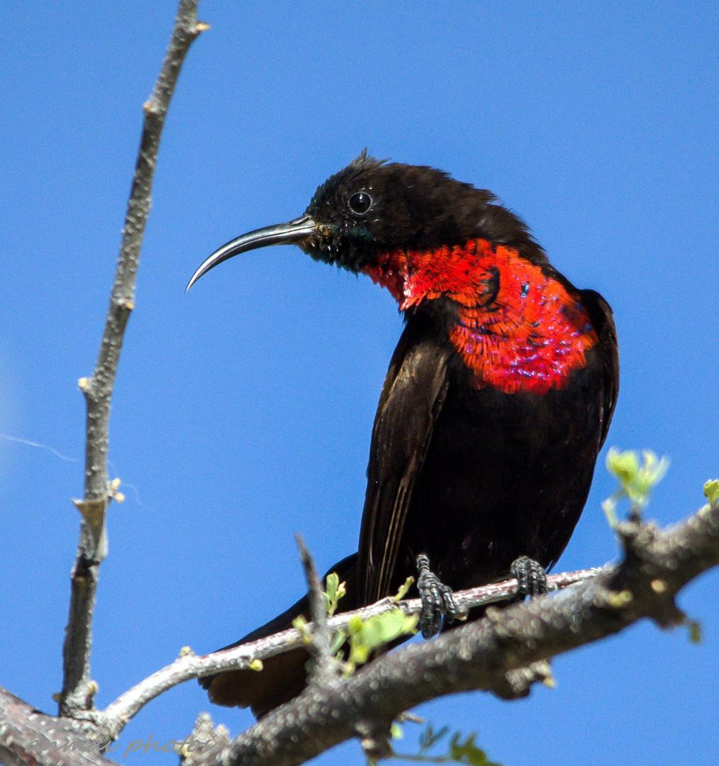 Rotbrustnektarvogel-Männchen. (Nur 15cm lang)