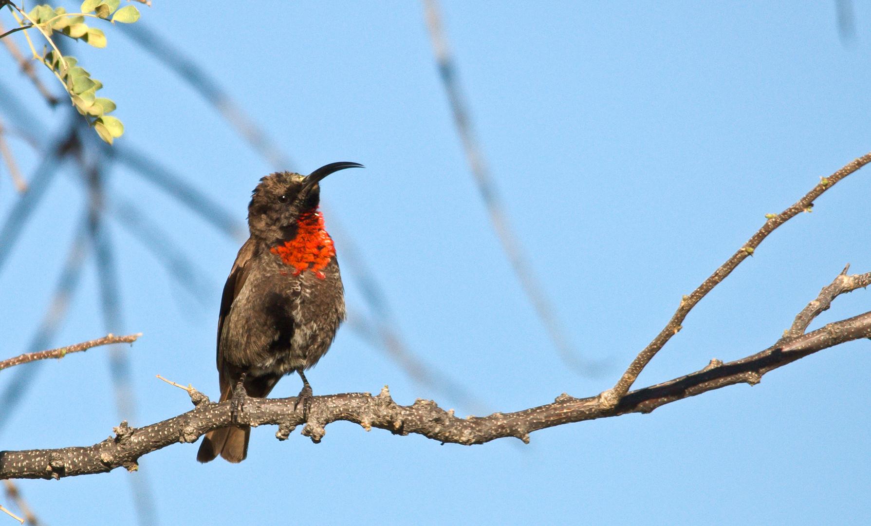 Rotbrustnektarvogel-Weibchen.......