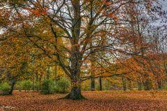 Rotbuche im Herbstkleid
