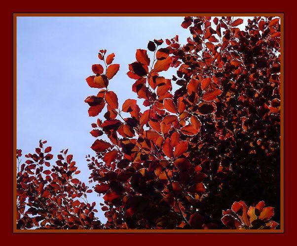 Rotbuche im Sonnenlicht...