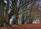 Rotbuchen-Wald