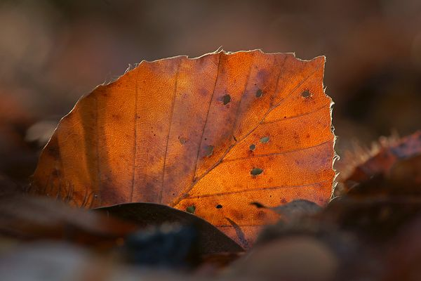 Rotbuchenherbstblatt