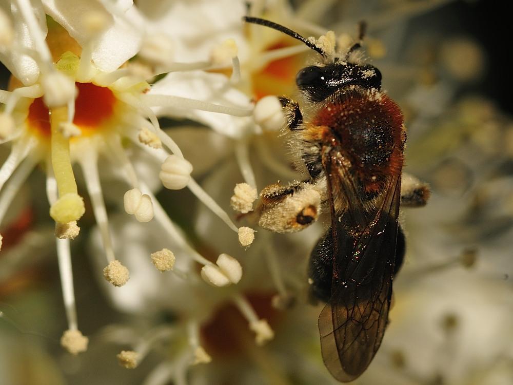 Rotbürstige Sandbiene (Andrena haemorrhoa)