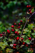 Rotdorn Frucht