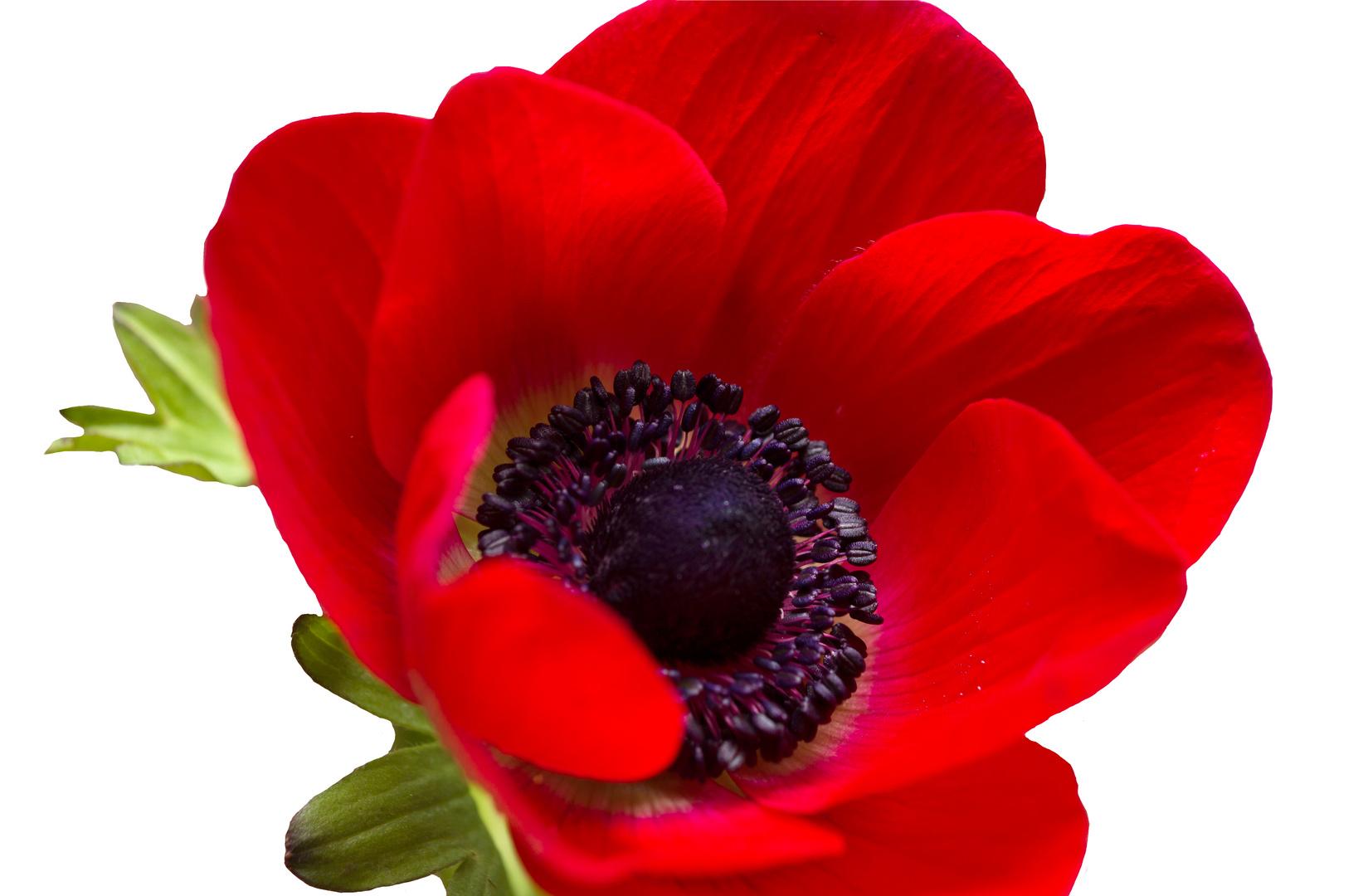 Rote Anemone