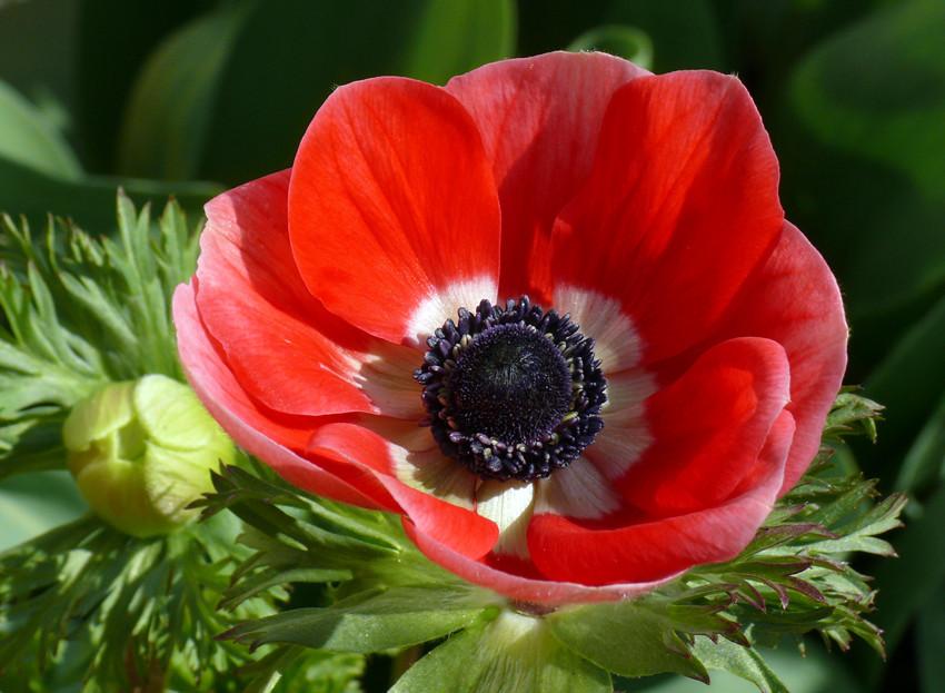 rote anemone foto bild pflanzen pilze flechten. Black Bedroom Furniture Sets. Home Design Ideas