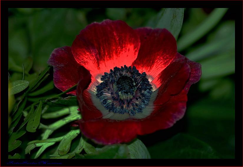 Rote Anemone*