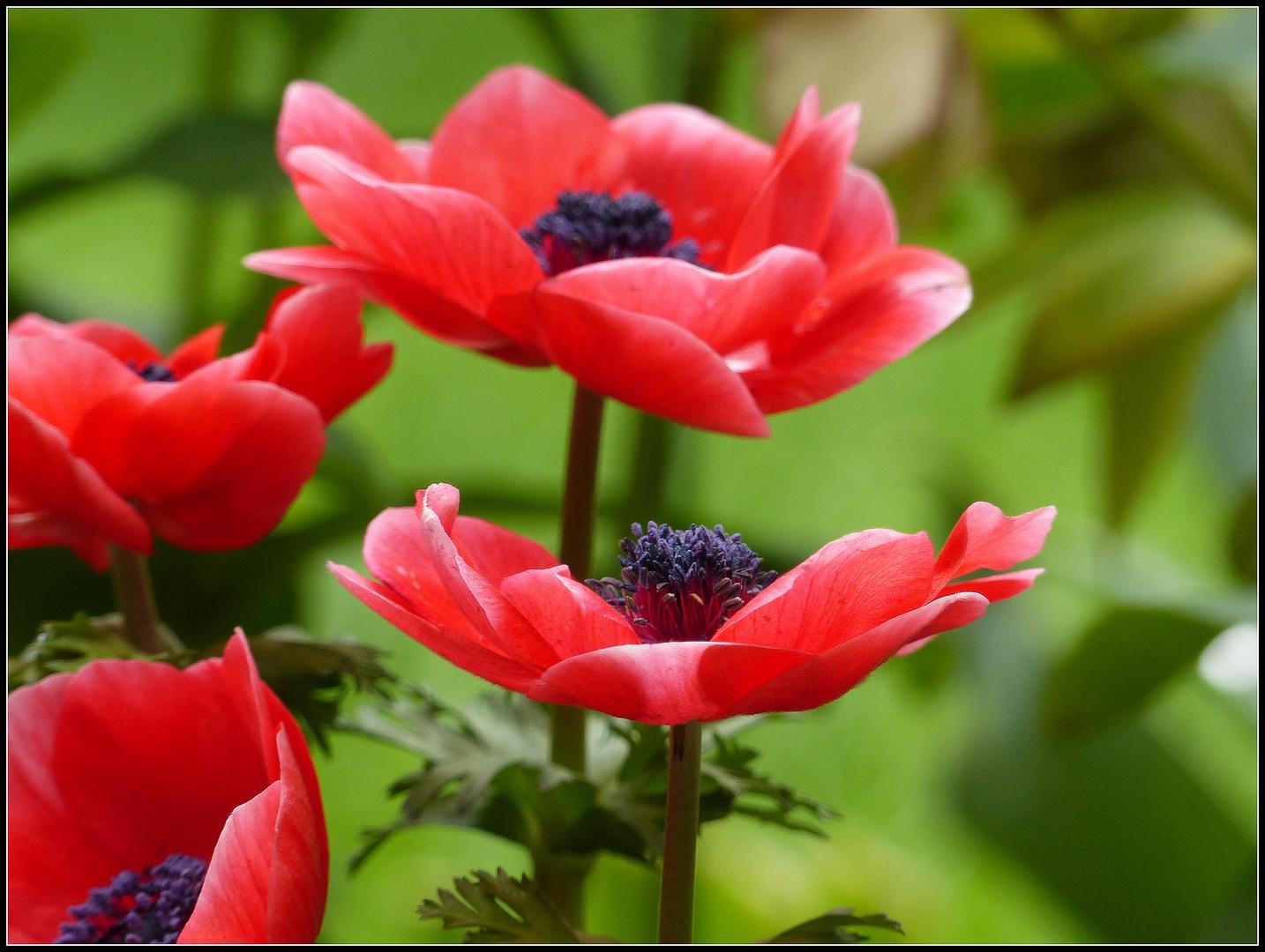 rote anemonen foto bild pflanzen pilze flechten. Black Bedroom Furniture Sets. Home Design Ideas