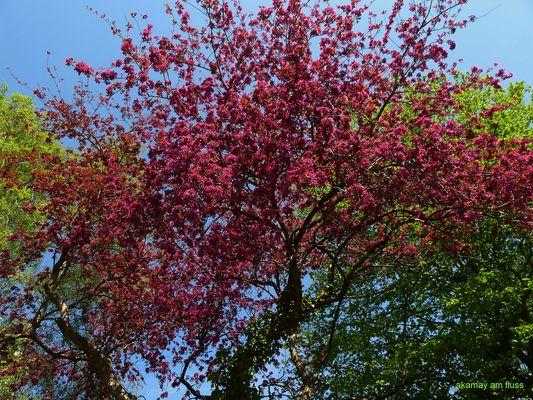 Rote Baumblüten - Frühjahr in Polle