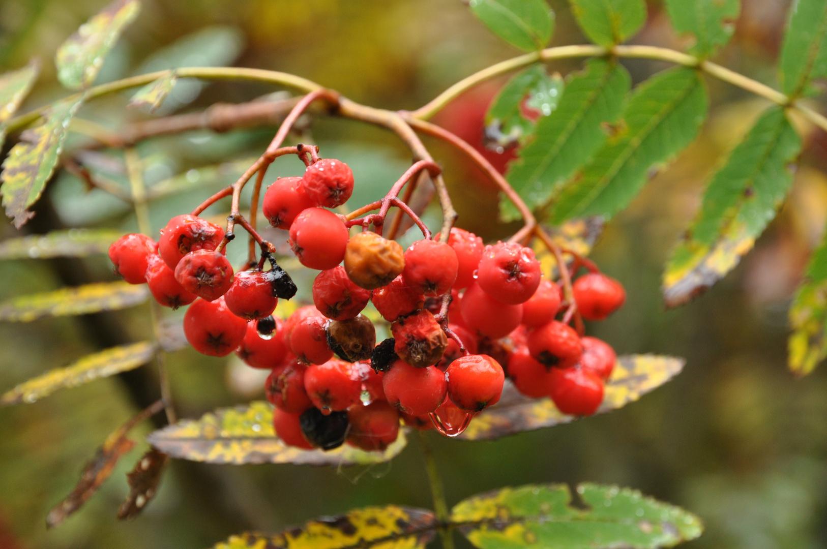 Rote Beeren der Eberesche mit Regentropfen