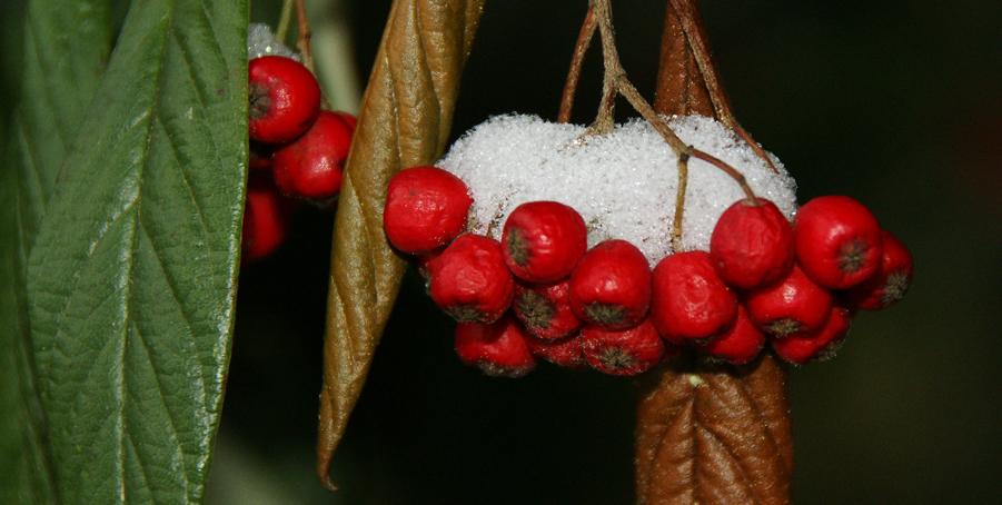 Rote Beeren im Schnee