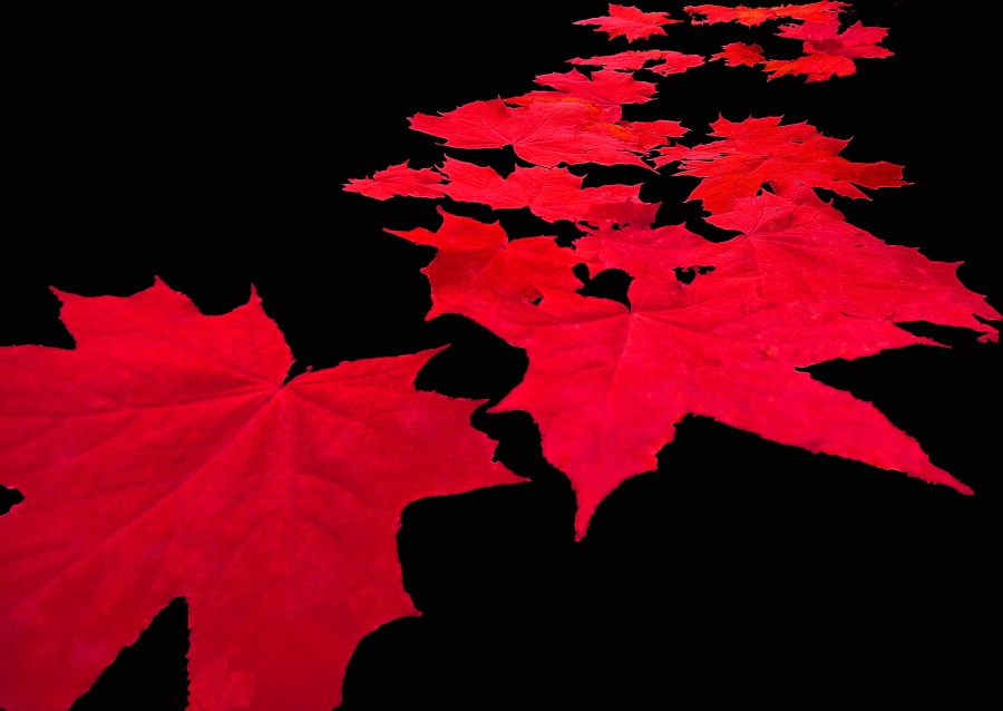 rote bl tter foto bild pflanzen pilze flechten. Black Bedroom Furniture Sets. Home Design Ideas