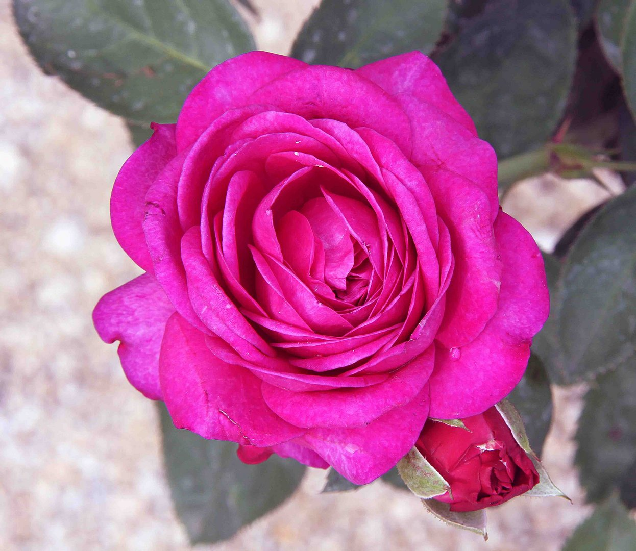 Rote blühende Rose