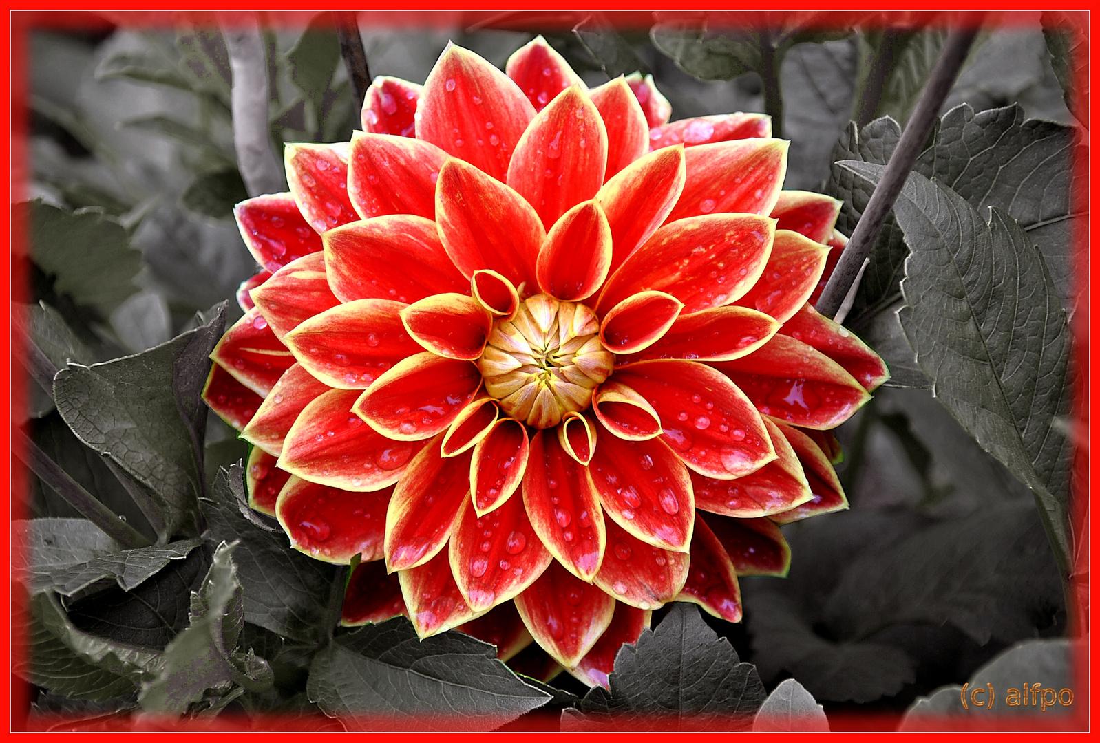 Rote Blühte