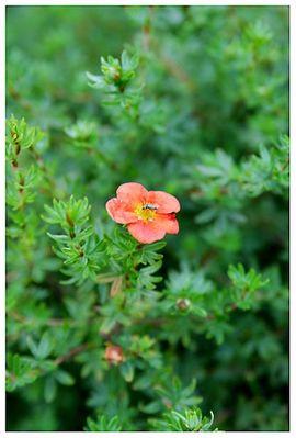 rote blüte mit käfer