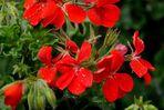 Rote Blüten im Garten.