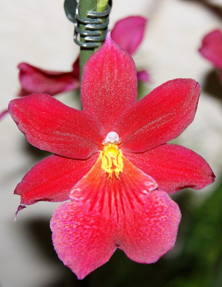 Rote Cambria Blüte