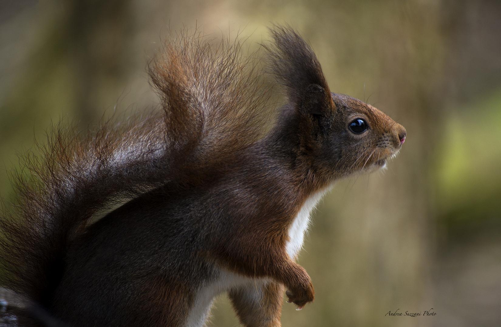 rote Eichhörnchen