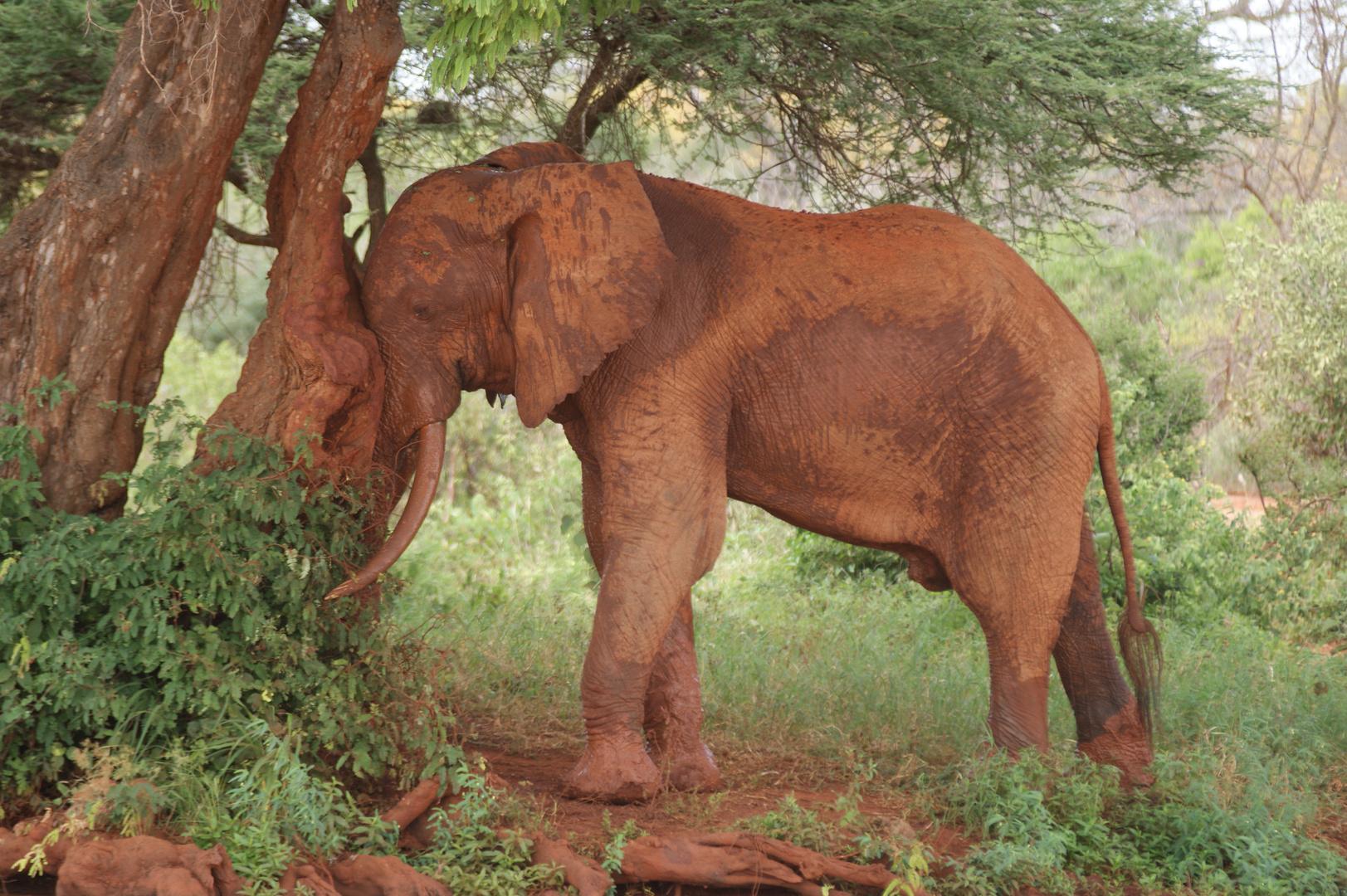 Rote Elefant