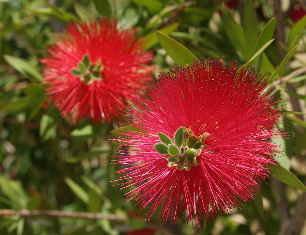 Rote Flaschenbürstenblümchen