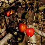 Rote Früchte die  Sonne  und der Winter