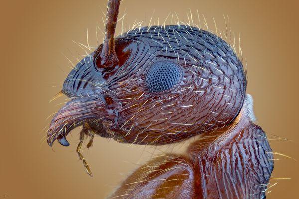 Rote Gartenameise Myrmica Rubra