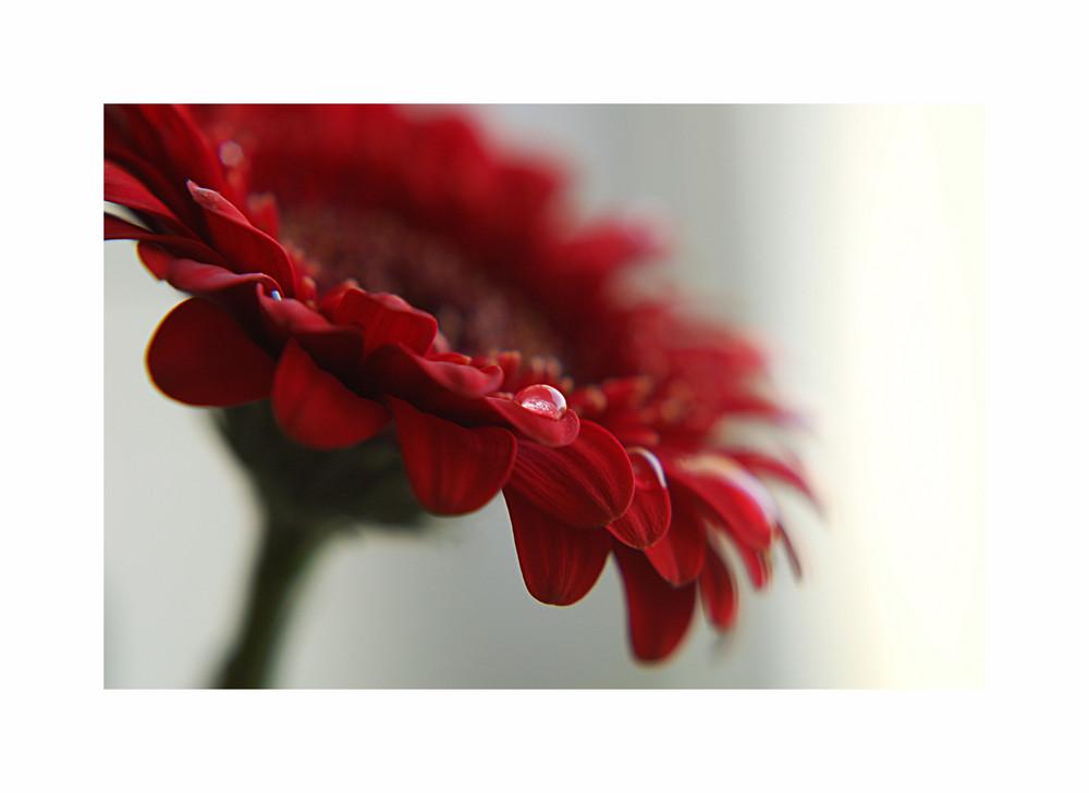Rote Gerbara