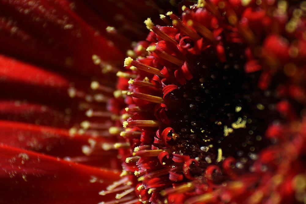 Rote Gerbera - Lieblings Blume von Mami =)