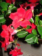 Rote glänzende Blume