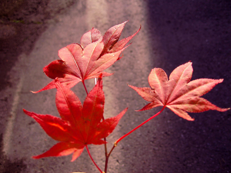 Rote Harmonie