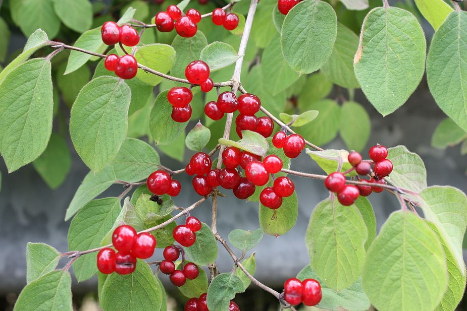rote heckenkirsche foto bild pflanzen pilze flechten fr chte und beeren blumen. Black Bedroom Furniture Sets. Home Design Ideas