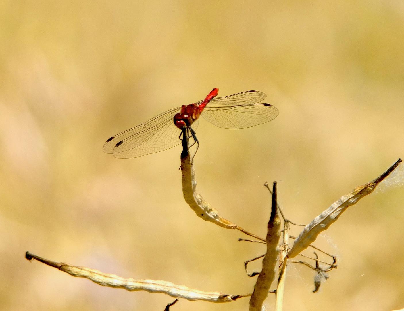 rote Heide- Libelle