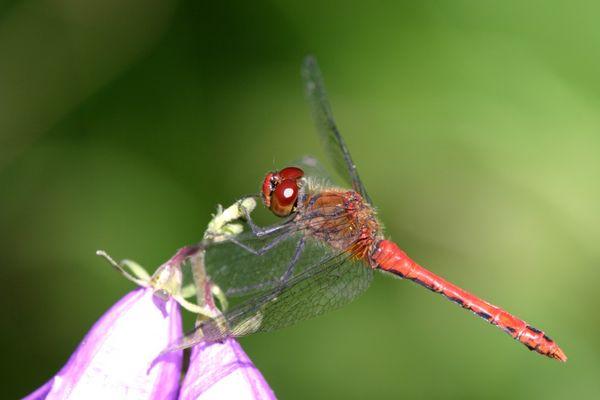 Rote Heidelibelle (männl.)