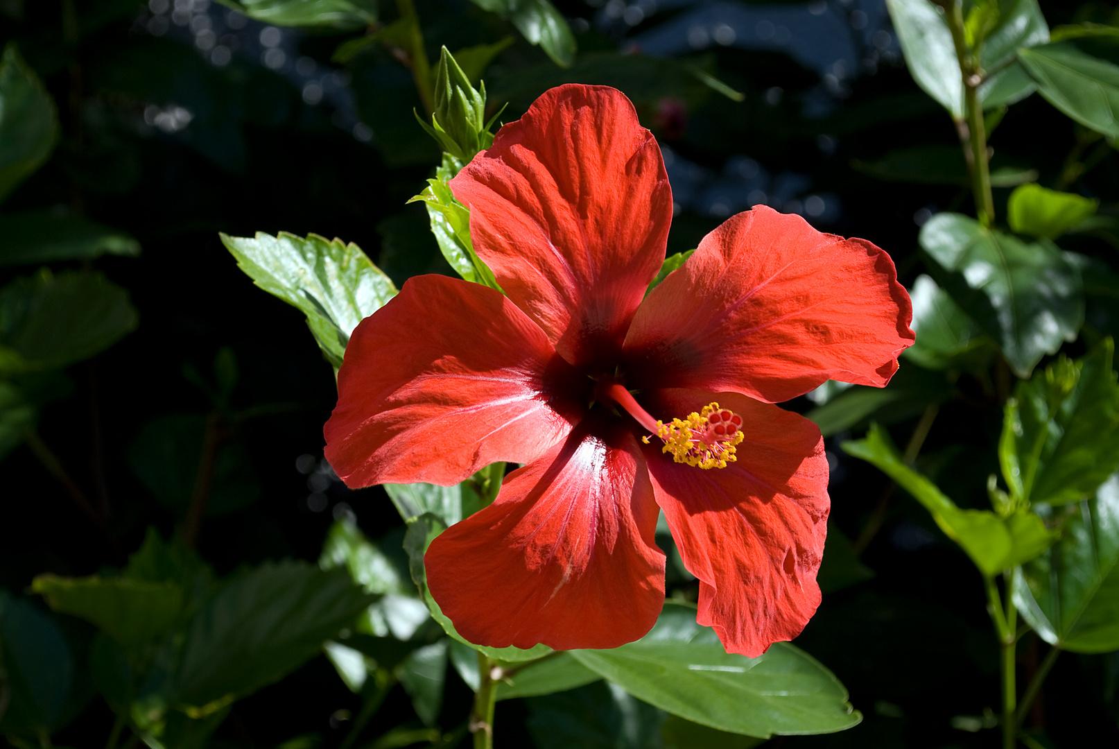 rote hibiskus in spanien foto bild pflanzen pilze flechten bl ten kleinpflanzen. Black Bedroom Furniture Sets. Home Design Ideas