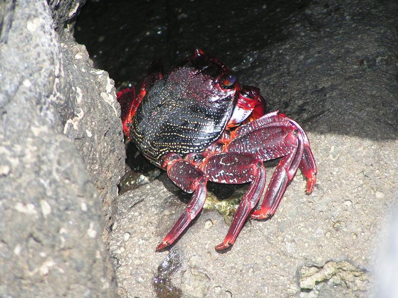 Rote Krabbe ...