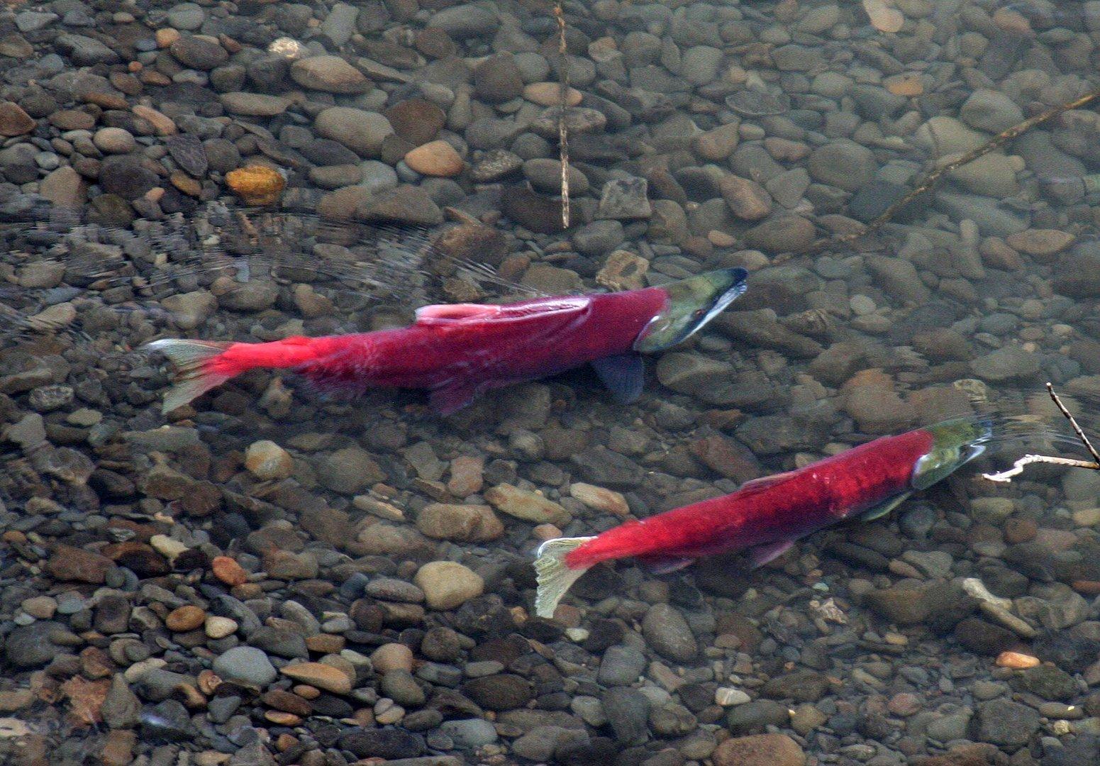 Rote Lachse (1) (Sokeye-Lachse (Oncorhynchus nerka)