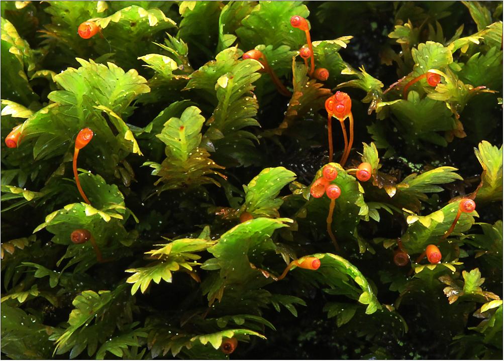 Rote Laternchen im grünen Moos