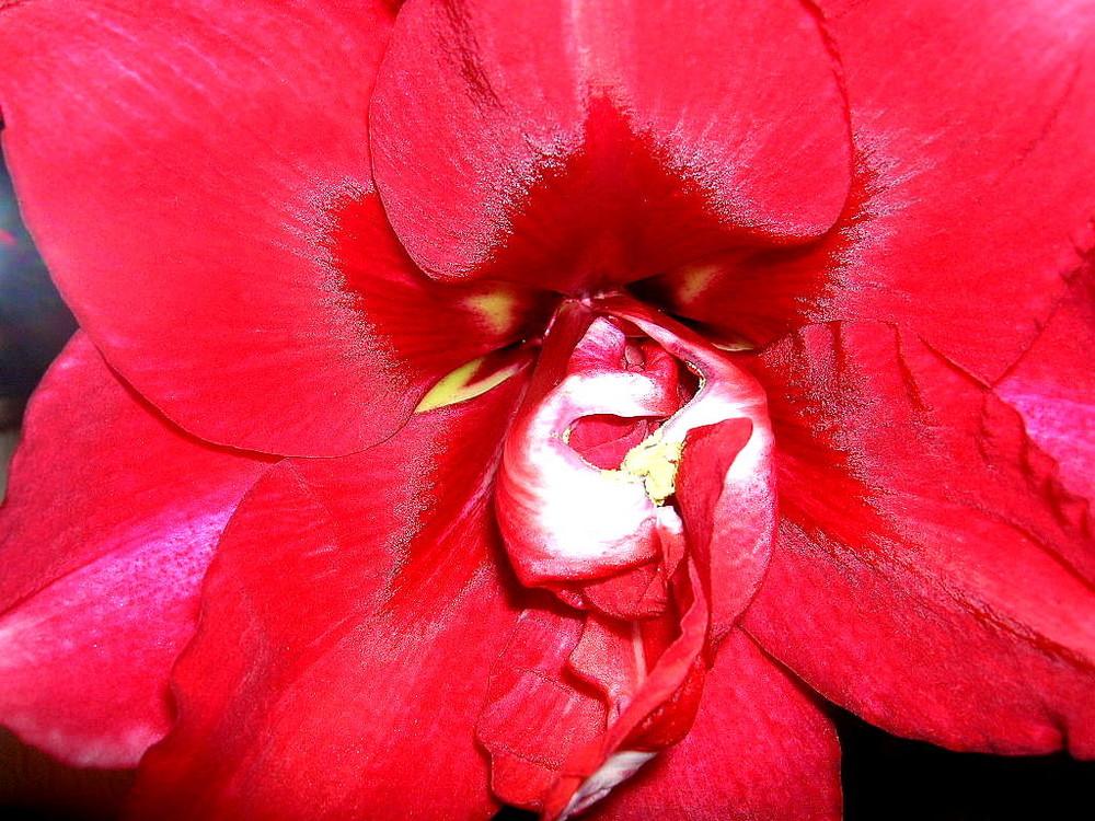 Rote leuchtende Amaryllis