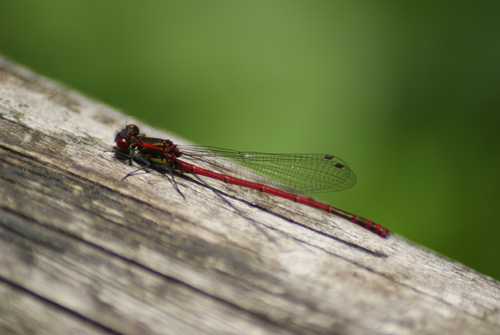 Rote Libelle
