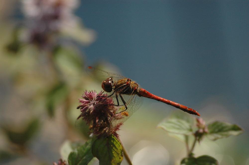Rote Libelle am Gartenteich
