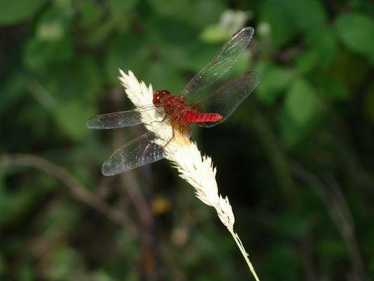rote Libelle am Lac d'Esparron (Haute Provence)