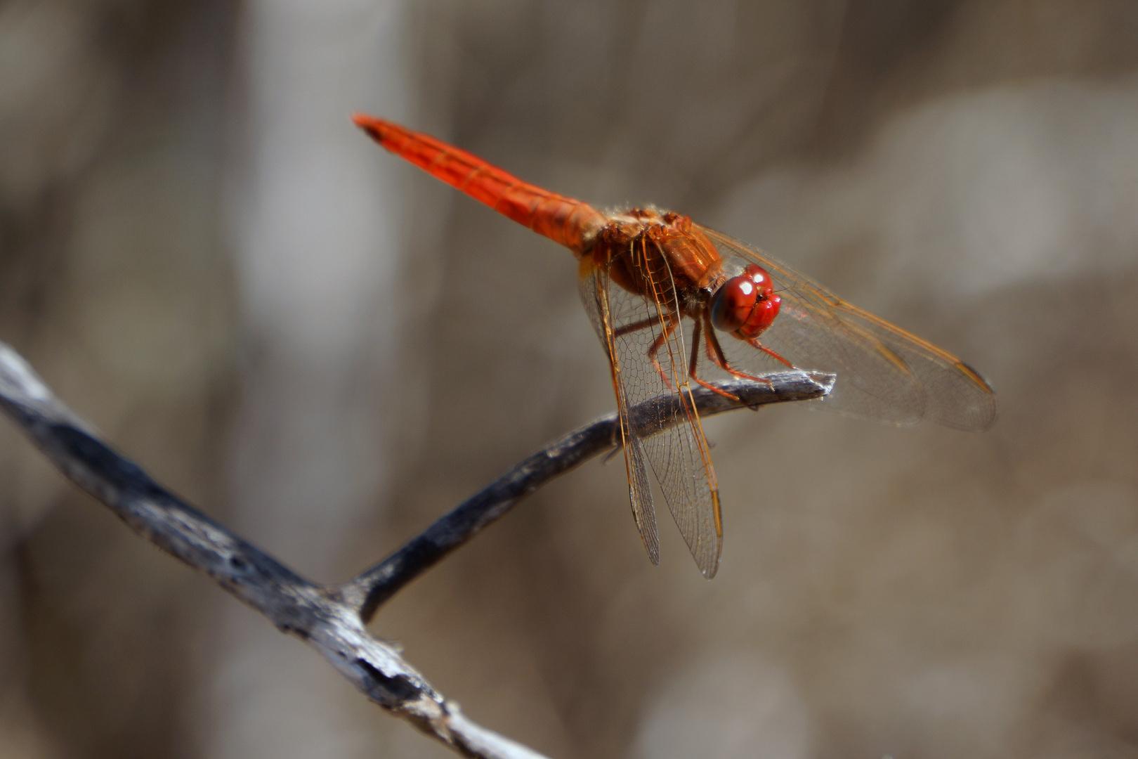 Großartig Malvorlagen Libelle Bilder - Beispiel Wiederaufnahme ...