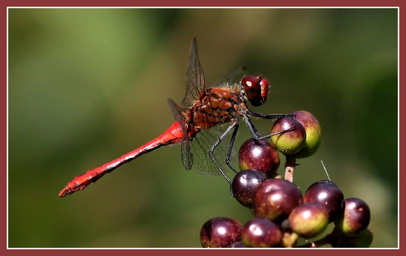 rote Libelle beim Naschen...