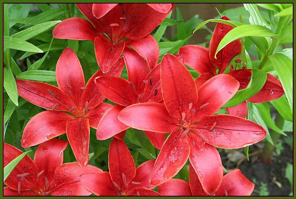 rote lilien foto bild pflanzen pilze flechten bl ten kleinpflanzen gartenpflanzen. Black Bedroom Furniture Sets. Home Design Ideas
