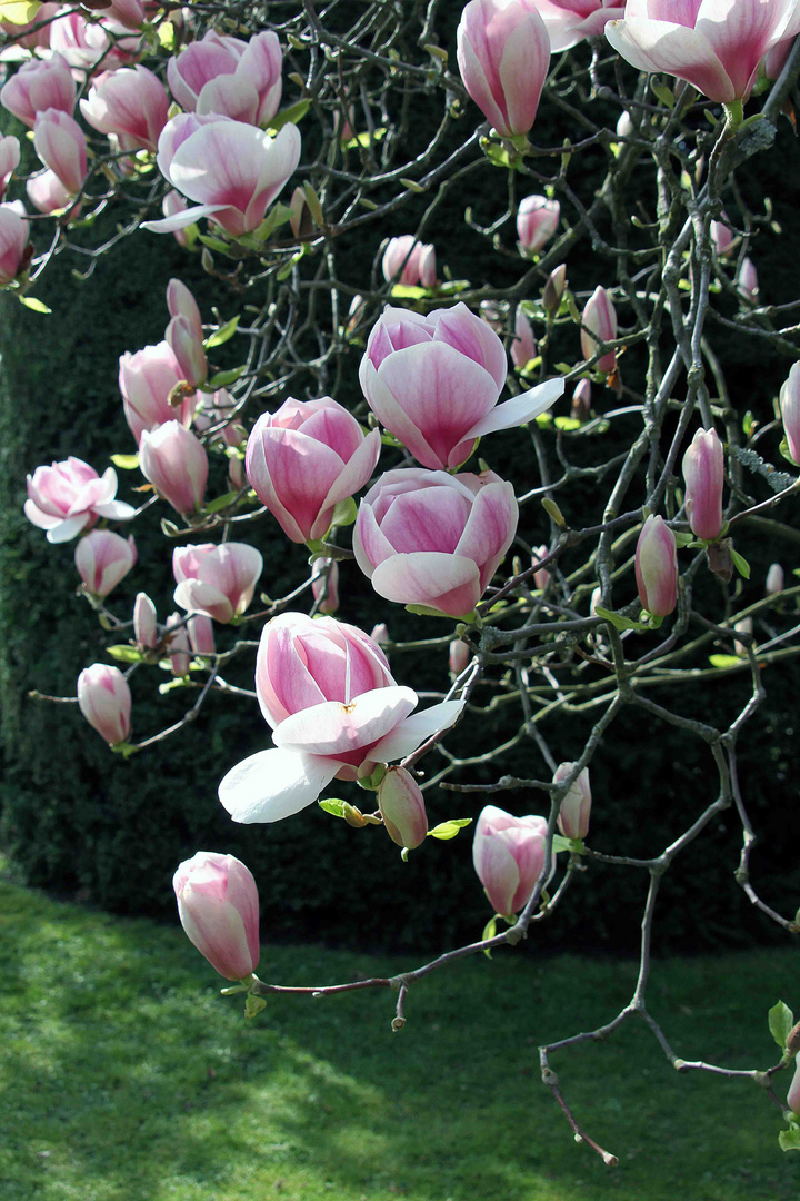 Rote Magnolienblüte