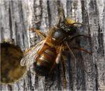 Rote Mauerbiene (Osmia bicornis) Männchen