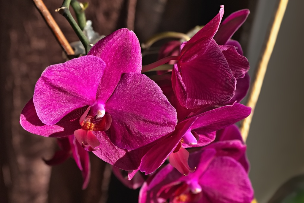 rote Orchidee auf der Fensterbank