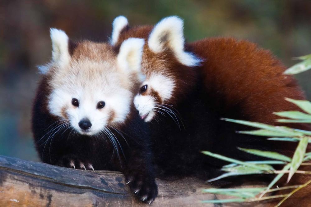 Rote Pandas II