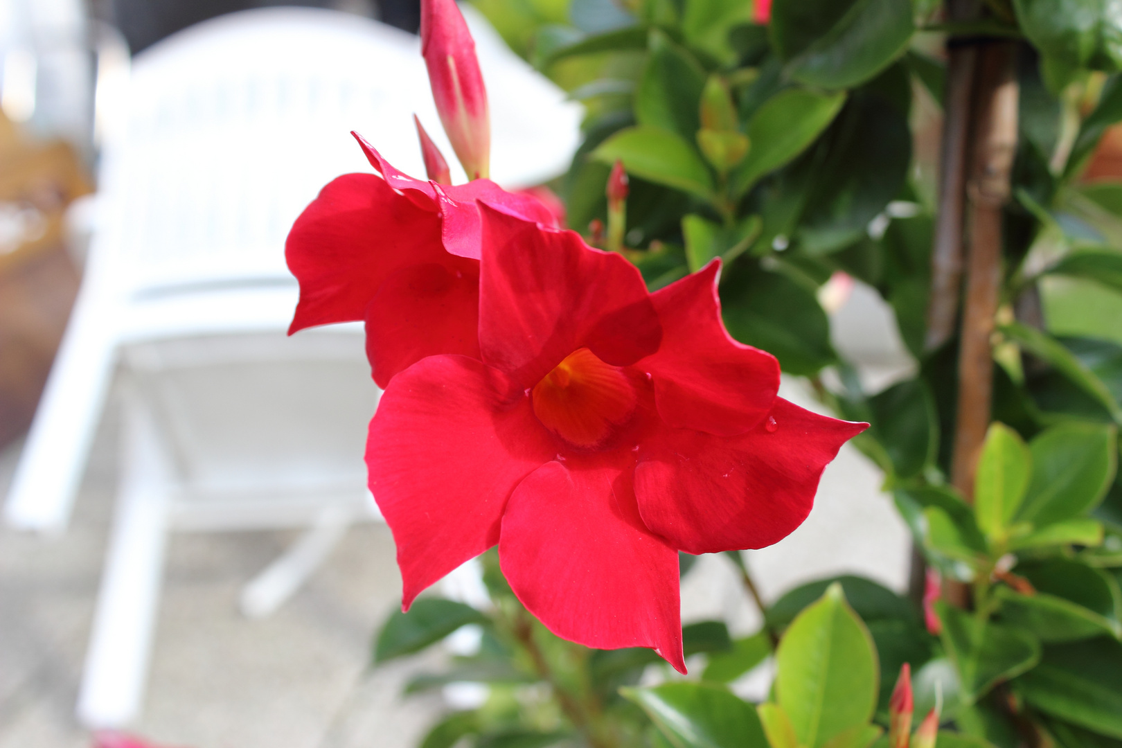 Rote Pracht im heimischen Garten