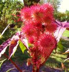 rote Rizinus communis Blüte